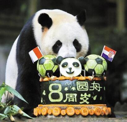 """深圳野生动物园 大熊猫""""圆舟""""8岁啦"""