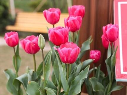 10万株!春节来广州南沙这里赏郁金香吧