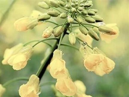 油菜花开进行时,在花都将广州的春天尽收眼底!